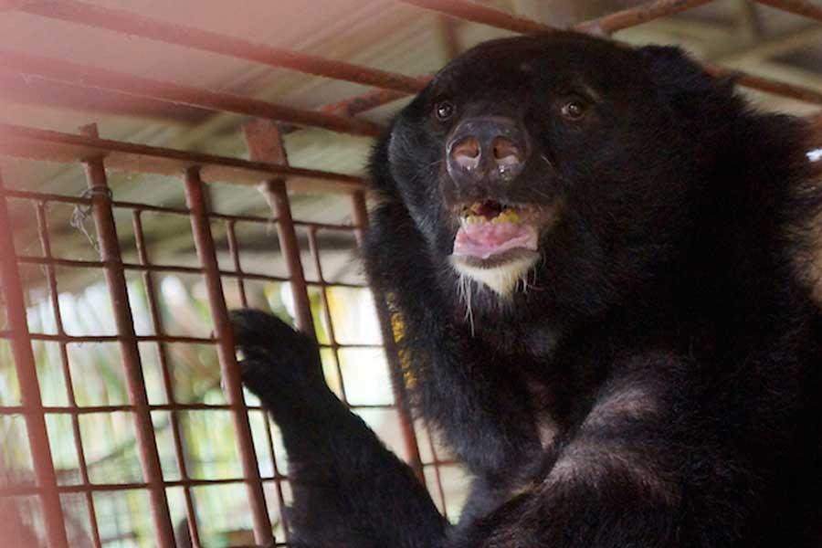 Vijf beren gered in Vietnam 2018